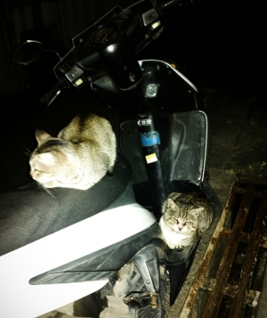 kucing naik motor (10)