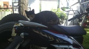 kucing naik motor (13)
