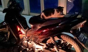 kucing naik motor (2)