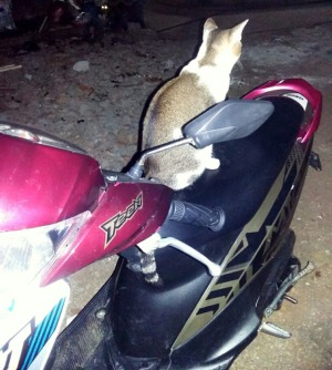 kucing naik motor (8)