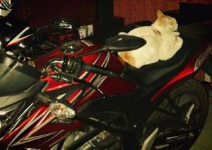 kucing naik motor (9)