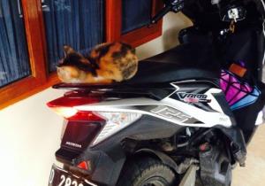 kucing numpang di motor